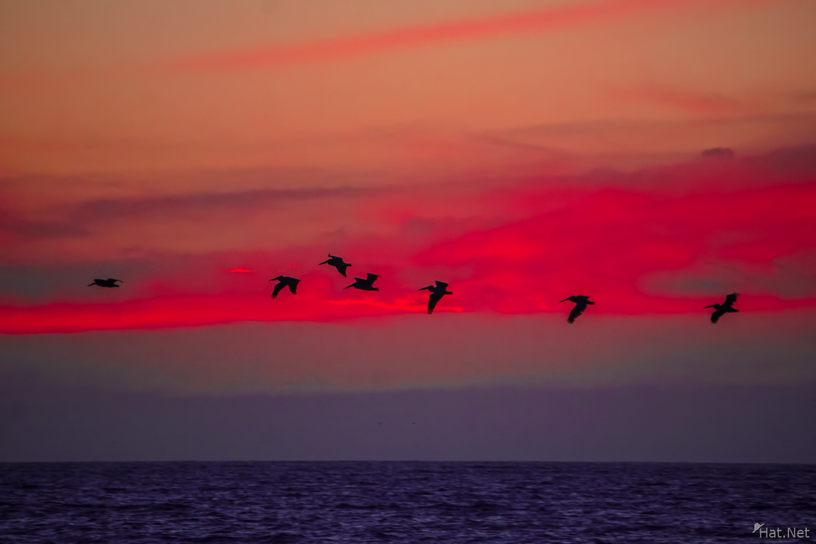 Pelican flying over sunset sea
