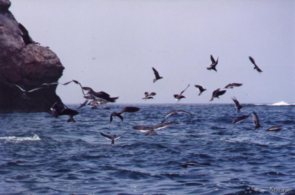 ballestas - sea birds